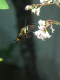 Snowberry clearwing (Hemaris diffinis), #7855,  feeding on spreading dogbane