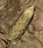 The Bee Moth (Aphomia sociella), #5629