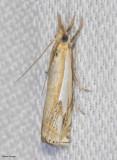 Double-Banded grass-Veneer  (Crambus agitatellus), #5362