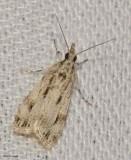Striped eudonia (Eudonia strigalis), #4738