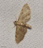 Wormwood Pug (Eupithecia absinthiata). #7586