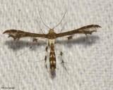 Bucks Plume moth (Geina buski), #6093