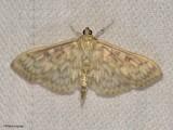 Bold-feathered Grass moth  (Herpetogramma pertextalis), #5275