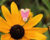 Primrose Moth (Schinia florida ),  #11164