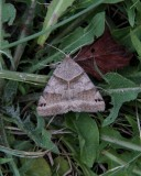 Clover looper moth (Caenurgina crassiuscula), # 8738