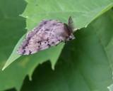 Gypsy moth (Lymantria dispar), male,  #8313