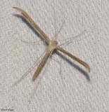 Morning-Glory Plume moth (Emmelina monodactyla), #6234