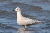 Kumlien's Gull (1w) - Duxbury Beach MA - Feb 10, 2012 - portfolio