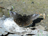 Dreamy Duskywing (Erynnis icelus)