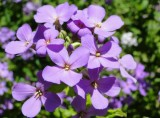 Purple and Violet Flowers