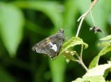 Silver-spotted Skipper (Epargyreus clarus)