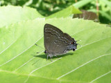 Hickory Hairstreak (Satyrium caryaevorum)