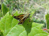 Crossline Skipper (Polites origines)