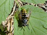 Hover fly (Temnostoma vespiforme)