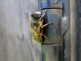 Hover fly (probably Eristalis arbustorum)