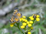 Northern Crescent (Phyciodes cocyta) with Pennsylvania Leatherwing