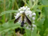 Bee fly (Lepidophora lutea)