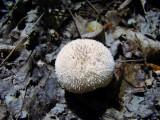 Puffball (Lycoperdon sp.)
