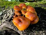Mushroom sp.