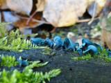 Blue stain fungus (Chlorociboria aeruginescens)