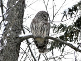 Barred Owl awake