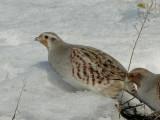 Gray Partridges (Perdix perdix)