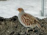 Partridges, Grouse & Turkeys