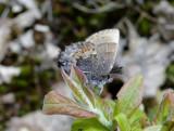 Henry's Elfin (Callophrys henrici)
