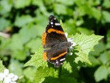 Red Admiral (Vanessa atalanta) on Garlic mustard (Alliaria officinalis)