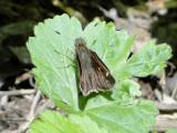 Hobomok Skipper (Poanes hobomok)Female Pocohontas form