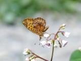 Meadow Fritillary (Boloria bellona)