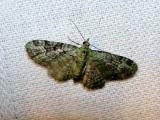 Green Pug (Pasiphila rectangulata) Hodges #7625