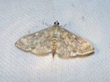 Bold-feathered Grass moth (Herpetogramma pertextalis)Hodges #5275