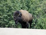 Alberta Mammals