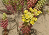 Zeewolfsmelk, Euphorbia paralias