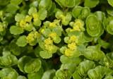Paarbladige goudveil, Chrysosplenium oppositifolium