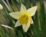Narcissus pseudonarcissus, botanic