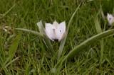 Tulipa humilis alba coerulea