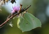 Citroenvlinder vrouw