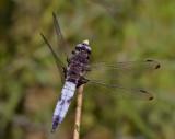 Bruine korenbout man, libellula fulva