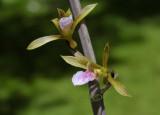 Eulophia  graminea, Laos