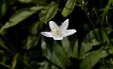Anemone trifolium