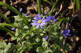 Blauwe anemoon, Anemone apennina