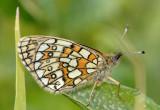 Ringoogparelmoervlinder, Boloria eunomia