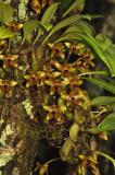 Bulbophyllum psittacoglossum, 1700 meter, flowers 2.5-3 cm across