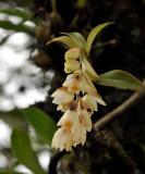 Pholidota articulata,close