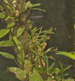 Liparis gibbosa, cloud forest