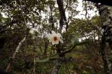Dendrobium christyanum, habitat