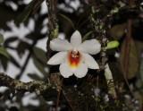 Dendrobium christyanum with crabspider