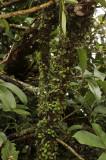 Trichotosia daysiphylla, habitat